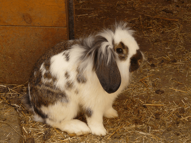 Rabbit with lop ears in barn